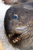 Ugly fish Royalty Free Stock Image
