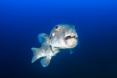 Ugly Fish! Royalty Free Stock Photography