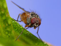 Ugly fly Stock Images