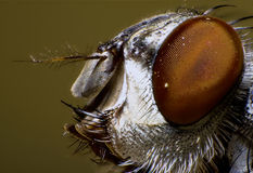 Ugly fly portrait Stock Photos
