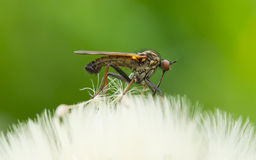 Ugly fly sitting on an hawkbit. With a green background Stock Image