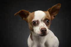 Ugly flying ears chihuahua portrait in  gray background Stock Photography