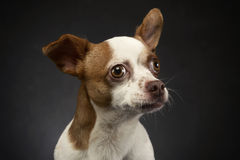 Ugly flying ears chihuahua portrait in a gray background Stock Photo