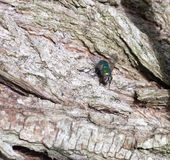 Ugly green fly on wood close up royalty free stock images
