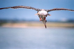 Ugly Gull in Flight. Sea Gull losing his feathers Stock Photo