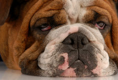 Ugly looking dog royalty free stock photos