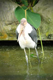 Ugly marabou stork. In Singapore Zoo Royalty Free Stock Photography
