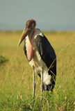 An ugly Marabou Stork Stock Images