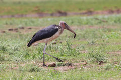 Ugly Marabou stork looking for food to eat on short grass Royalty Free Stock Photos