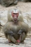 Ugly Monkey. The ugliest baboon the world has ever seen Stock Photography