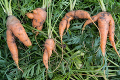 Ugly organic fresh carrots - bent and twisted Royalty Free Stock Photos
