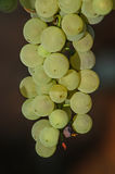 Ugly, organic grapes on the vine with natural marks and spots. Vertical shot of sunlit grape ready to be picked and used for different method of consumption stock image