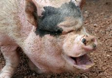 Ugly Pig. Close up of ugly pig with open mouth Royalty Free Stock Photo