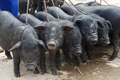 Ugly Piglets for Sale at Market Stock Photos