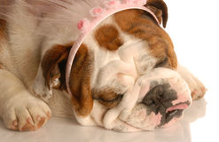 Ugly princess puppy Royalty Free Stock Image