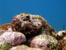 Ugly scorpion fish Royalty Free Stock Photography