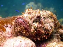 Ugly scorpion fish Stock Photography