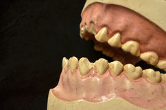 The ugly teeth of plaster manikin Royalty Free Stock Image