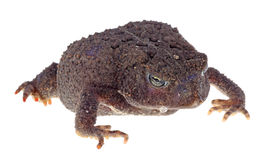 Ugly Toad Royalty Free Stock Photo