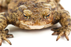 Ugly toad on white Stock Photography