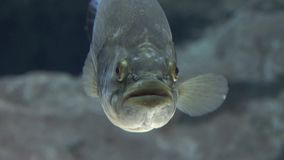 Ugly Undersea Fish Creature stock footage