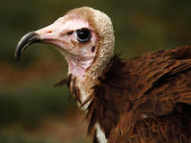Ugly vulture Royalty Free Stock Images