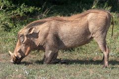 Ugly Warthog Kneeling Royalty Free Stock Photos