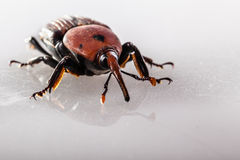Ugly weevil Stock Photo