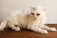 Ugly wet kitten Royalty Free Stock Photo