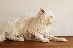 Ugly wet kitten Stock Photography