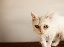 Ugly wet kitten Stock Image