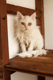 Ugly wet kitten Royalty Free Stock Photography