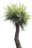 Ugly Willow tree Stock Photography
