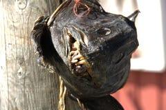 Ugly wolffish Stock Image