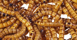 Ugly wormy close up background. Zophobas morio (worms) close up background stock video footage