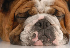Ugly wrinked english bulldog Royalty Free Stock Photography