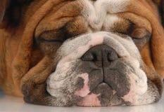 Ugly wrinked english bulldog Royalty Free Stock Photography