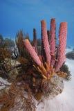 ugn för svamp för aplysinaarcherirør Royaltyfria Bilder