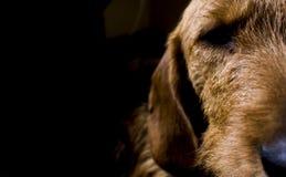 Ugo il cane Fotografia Stock
