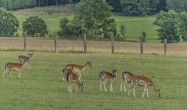 Ugorów deers na łące w Krkonose górach Obrazy Stock