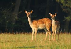 Ugorów deers na paśniku Fotografia Stock