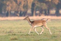 Ugorów rogacze, Dama dama, żeński bieg na trawie w Dyrehave, Dani obraz royalty free