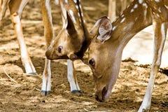Ugorów rogacze, Europejski ugorów rogaczy Dama dama jeleń średni rozmiar, błonie w Europa lub Azja, zdjęcie stock
