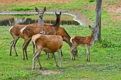 Ugorów rogacze, Europejski ugorów rogaczy Dama dama jeleń średni rozmiar, błonie w Europa lub Azja, fotografia stock
