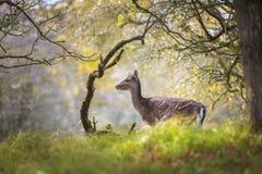 Ugorów rogaczy Dama Dama królica, łania lub źrebię w jesieni, fotografia royalty free