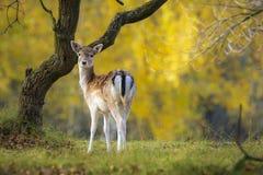 Ugorów rogaczy Dama Dama królica, łania lub źrebię w jesieni, zdjęcia royalty free