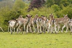 Ugor?w parkowi rogacze w Dartington rogaczy parka ziemiach zdjęcie stock