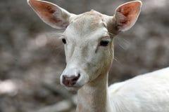 ugoru jeleni biel fotografia royalty free