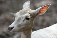 ugoru jeleni biel zdjęcia stock