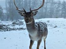 Ugoru rogacz ciekawiący w kamerze na śnieżnym dniu obrazy stock